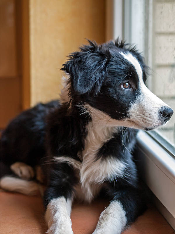 Doodle Hund - Border Collie Welpe - Sehnsucht II.