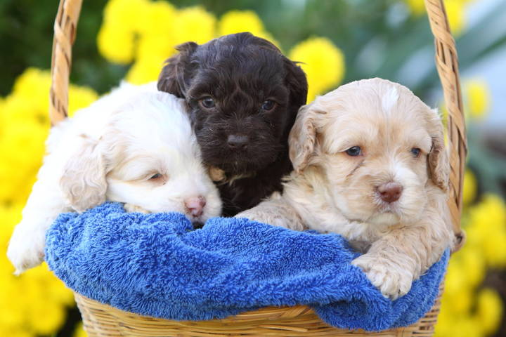 Doodle Hund - Three Cockapoo Puppies in a Basket.