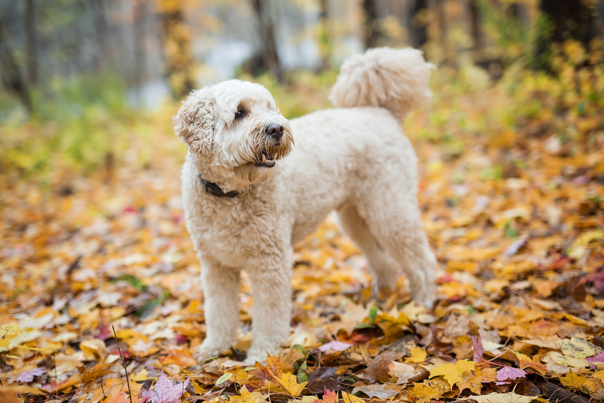 Happy goldendoodle dog outside in autumn season