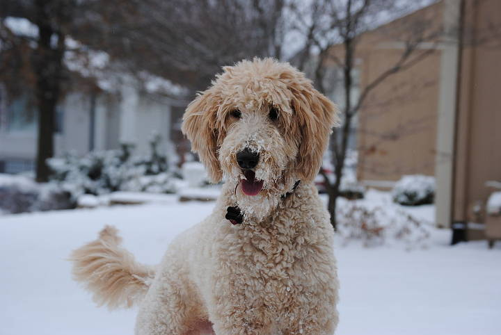 Doodle Hund - Goldendoodle plays in the snow.