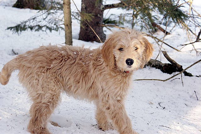 Doodle Hund - twelve-week old goldendoodle pup.
