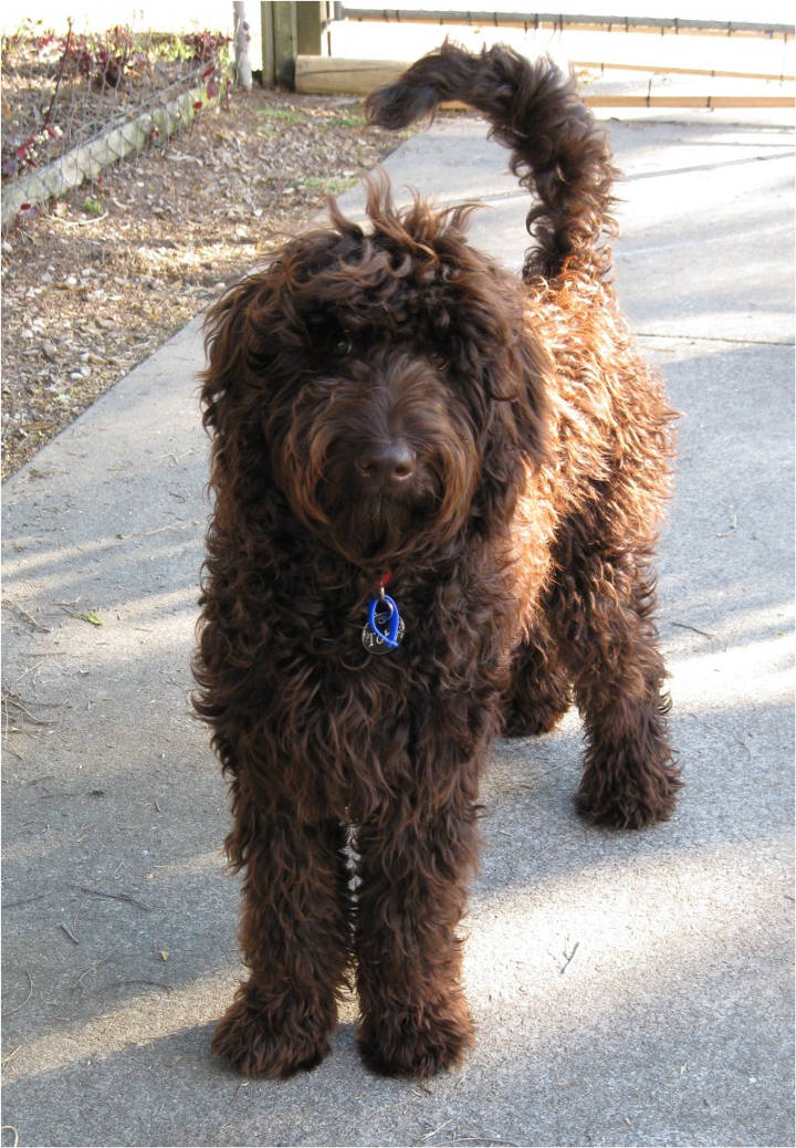 Doodle Hund - An Australian male Labradoodle at 9 month of age.