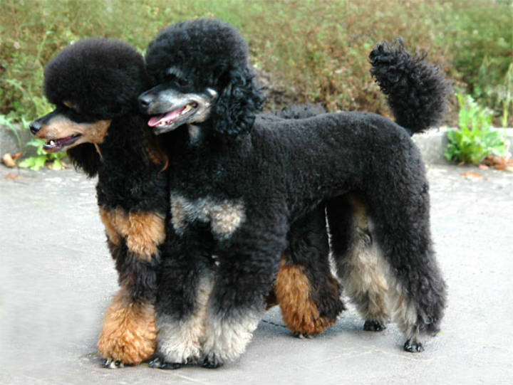 Standard Poodle Hunting Dogs For Sale