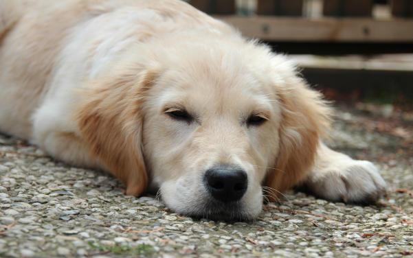 golden retriever doodle hund doodle hunderassen. Black Bedroom Furniture Sets. Home Design Ideas